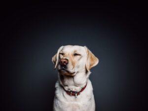 ljubmac-pas-labrador-psi